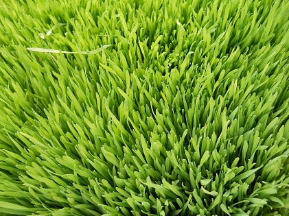 wheat grass vegetable plant